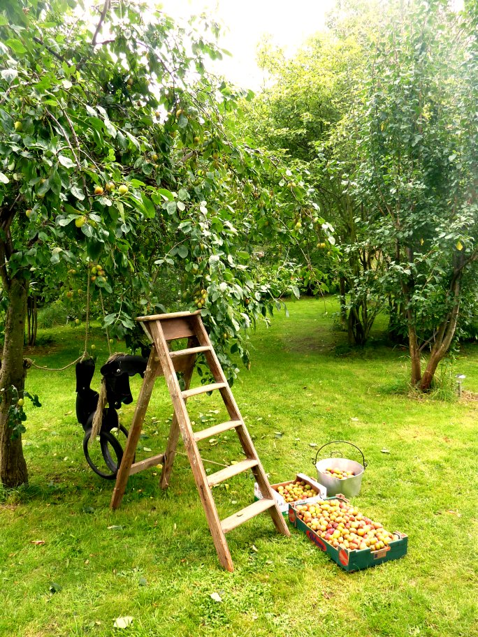 Gathering plums in the orchard for Rumtopf and Plum Brandy  @ www.jamesandtracy.co.uk