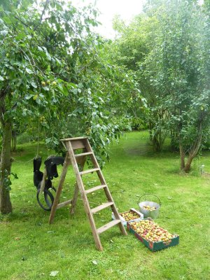 Gathering plums in the orchard for jam  @ www.jamesandtracy.co.uk